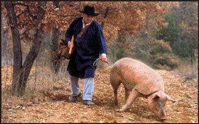 lesson of the truffle pig