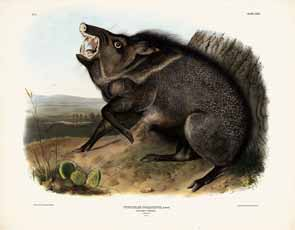 John James Audubon - The Collard Peccary