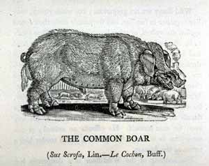 Thomas Bewick - Common Boar
