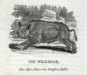 Thomas Bewick - Wild Boar