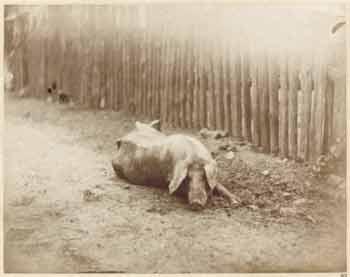 Léon Crémière - Cochon couché de face